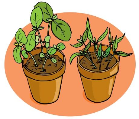 basil and green pepper seedlings
